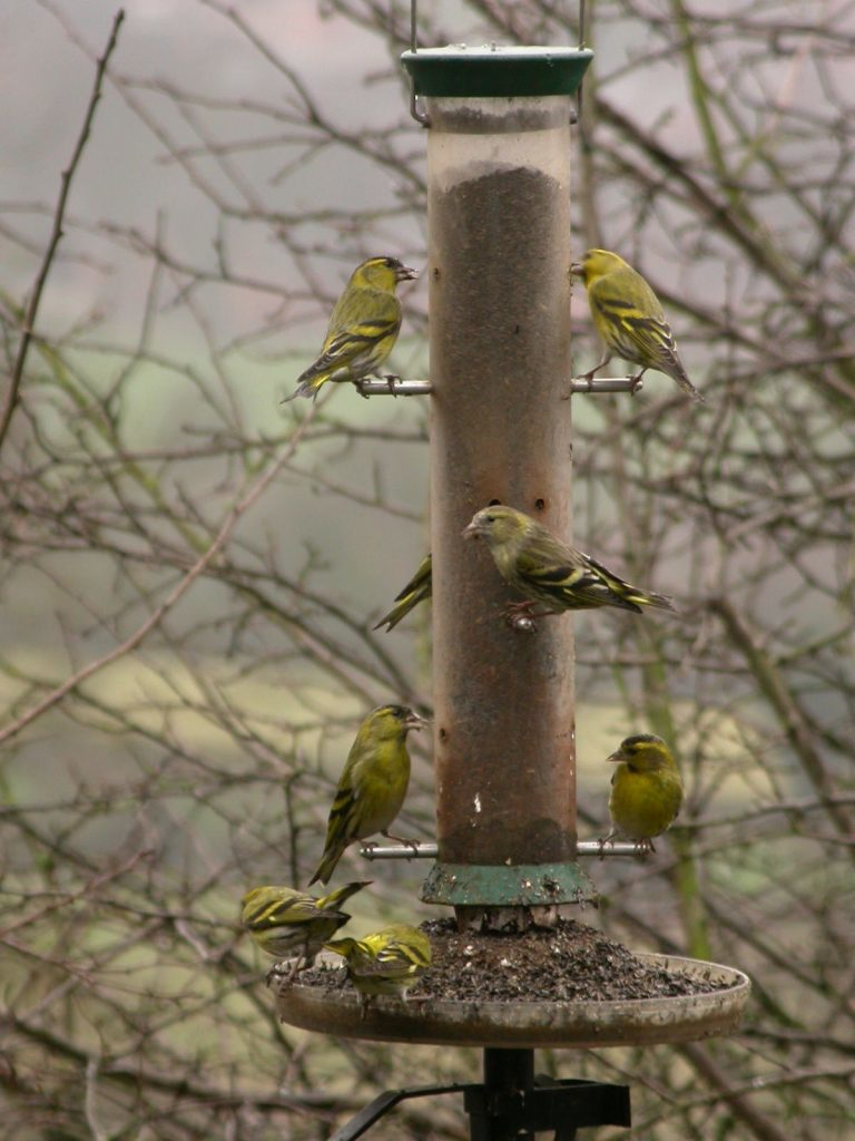 Siskins at a feeder. Photo by Carl Reavey