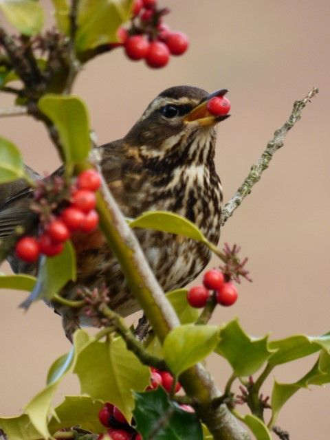 A redwing enjoying a tasty morsel. Photo by Mike Rose