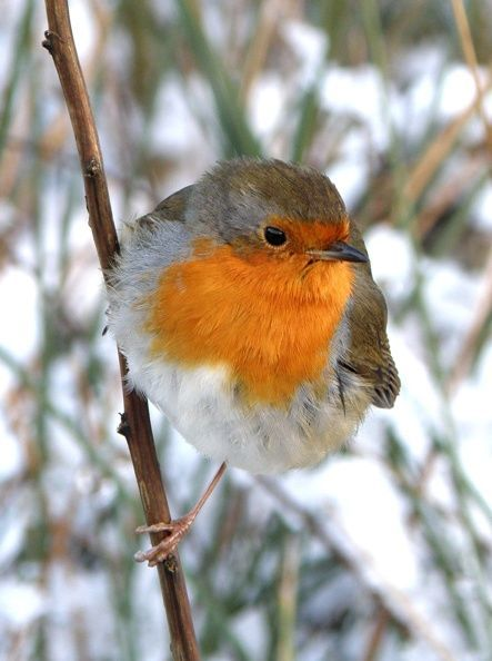 A robin during winter. Photo by Sue Archer
