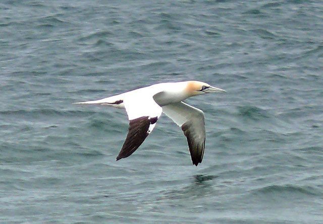 Gannet, the first returning bird seen in January. Photo by Dennis Morrison