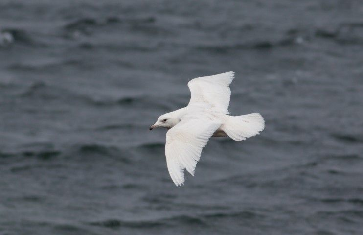 One of the lingering winter visitors, an Iceland gull. Photo by Alex Penn.