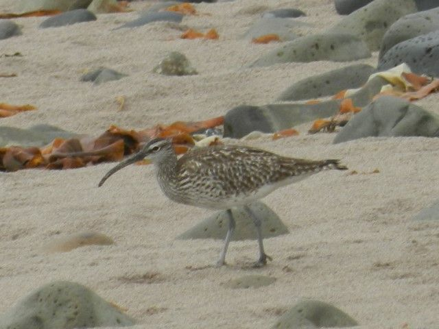 A large passage of whimbrel are heading north this month. Photo by Alasdair Fyffe.
