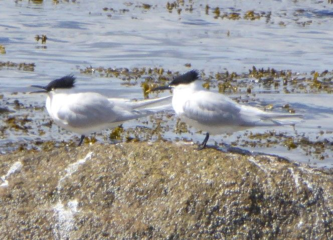 Sandwich tern are also migrating north during April. Photo by Jim Cassels.