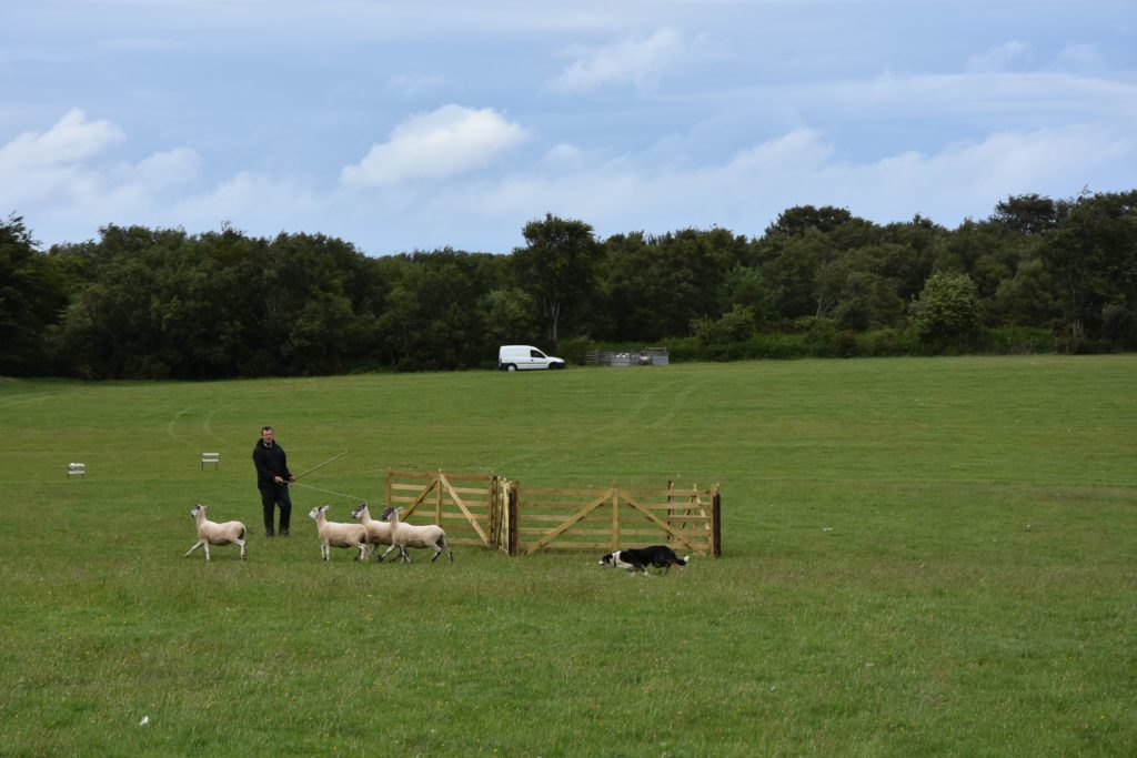 Niall McMaster and Gail direct the sheep into the pen.