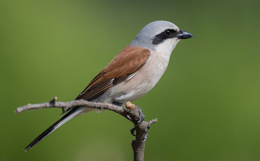 Red-backed shrike: this rare visitor turned up for the second year in a row in June. The last record was twenty years ago. Photo by Nick Giles.