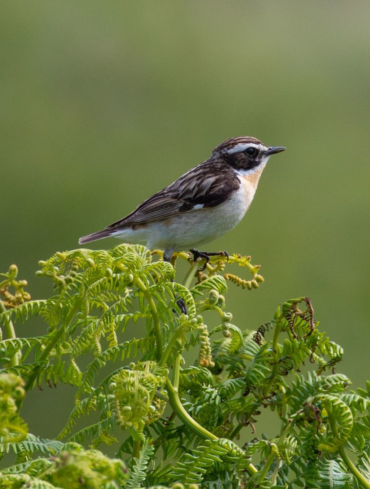 Whinchat enjoyed a successful breeding season in Arran glens. Photo by Nick Giles.