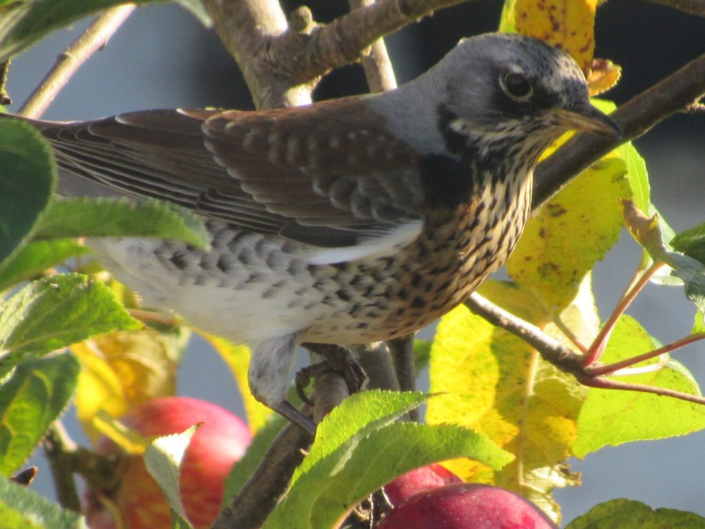 Fieldfare on an apple tree. Photo: Simon Davies.