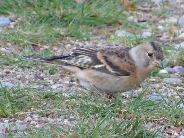 Brambling, one of the wintering species who have enjoyed a good year. Photo: Simon Davies.