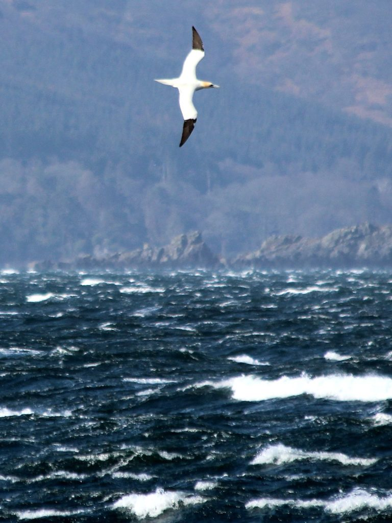 A gannet makes for an unusual sight on Arran for this time of the year. Photo: Sue Archer.