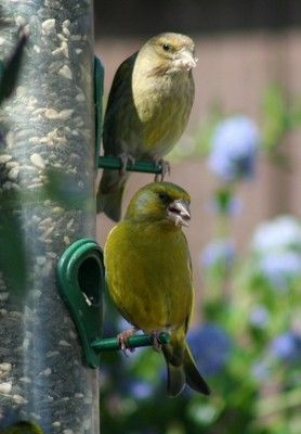Greenfinch are a species to look out for during the RSPB Big Garden Birdwatch later this month. Photo: Angela Cassels.
