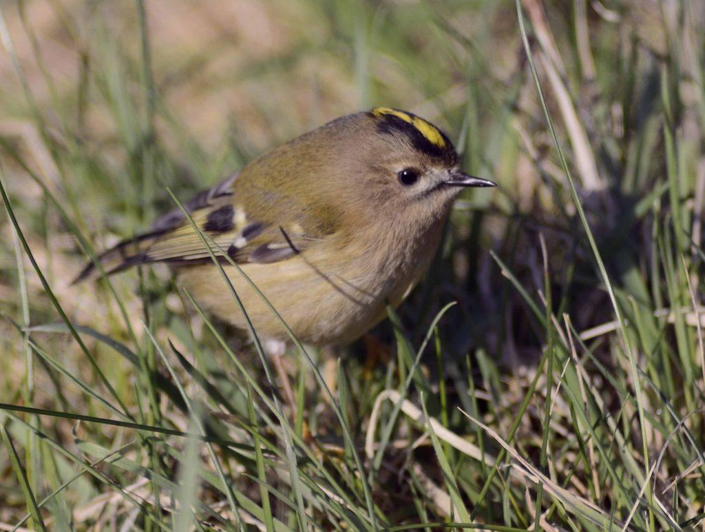 Goldcrest - smallest European bird visiting gardens in Arran in January. Photo: Brian Couper.