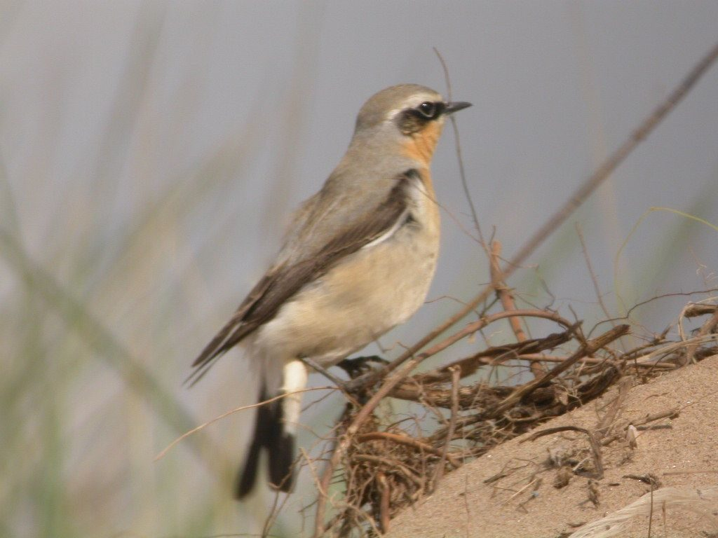 Wheatear, one of the first summer visitors that have arrived after having wintered south of the Sahara. Photo by Robert Lambie.