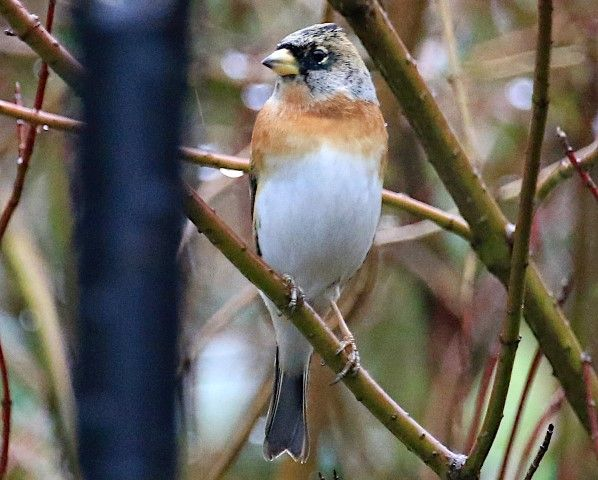 Brambling, one of the winter visitors still lingering on. Photo by Dave Russell.