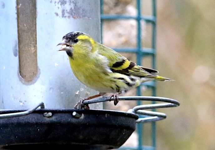 Siskin, a visual sign of migration as they appear at garden feeders. Photo by Dave Russell.