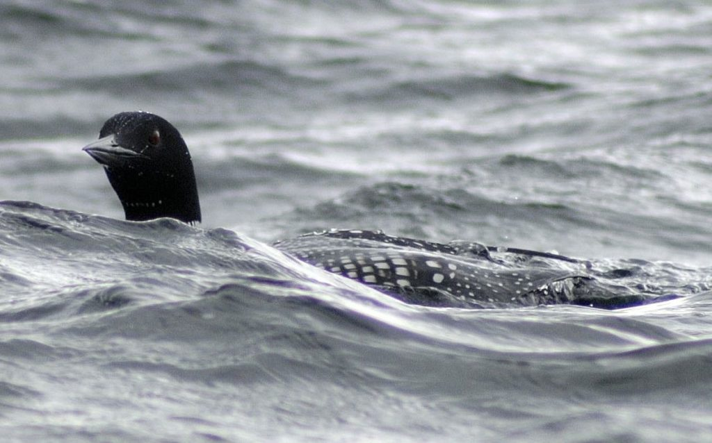 Just passing through, an artic breeder, the great northern diver. Photo by Brian Couper.