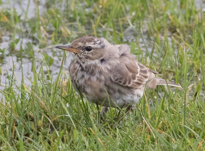 Water Pipit, the first ever Arran record stuck around all month and was beginning to show signs of its breeding plumage. Photo by Alex Penn.