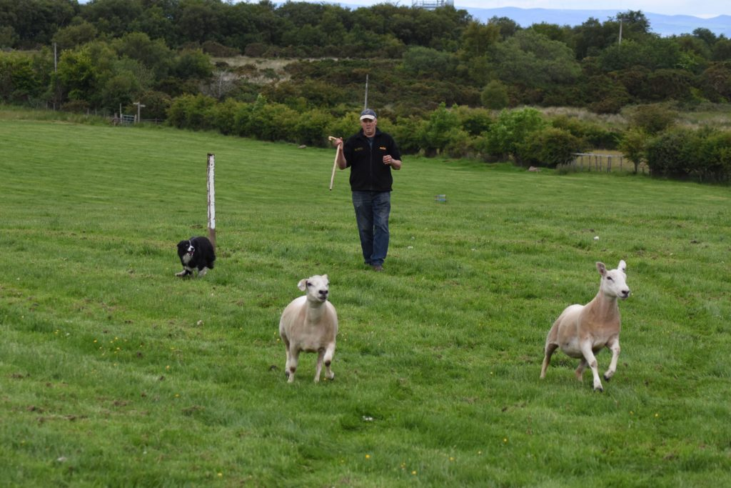 Matthew McNeish directs Pip to separate a small herd of four sheep into two groups of two.