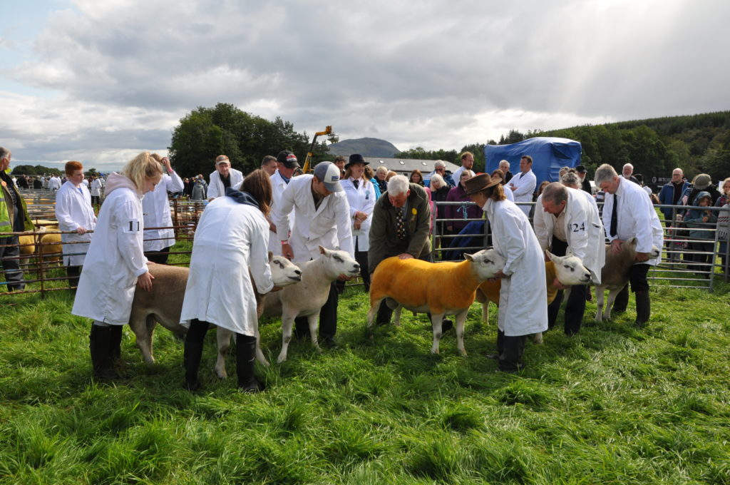 Judging is underway of the Texel sheep.