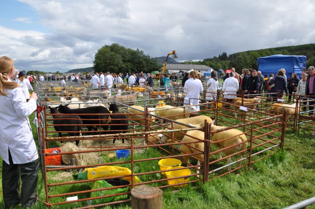 A sea of white coats in the sheep pen area.
