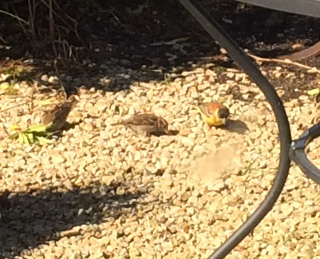 The photograph from Isla Murchie that shows the black-headed bunting among house sparrows.