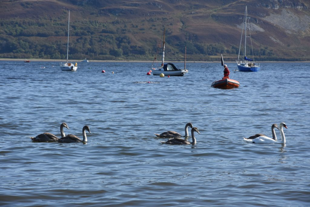 A swan and her signets cross the bay as the first pink caps of the swimmers can be seen returning to the jetty.
