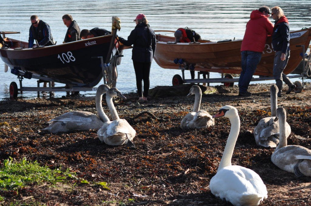 The swans seem unperturbed by the activity around them.