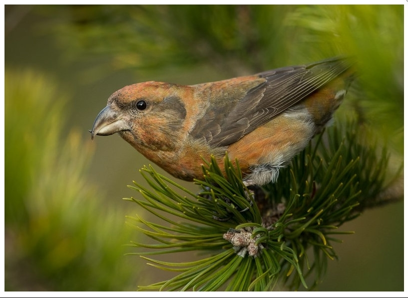 Good season for common crossbill