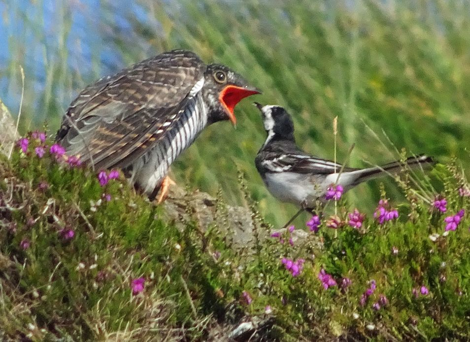 Arran's cuckoos are thriving