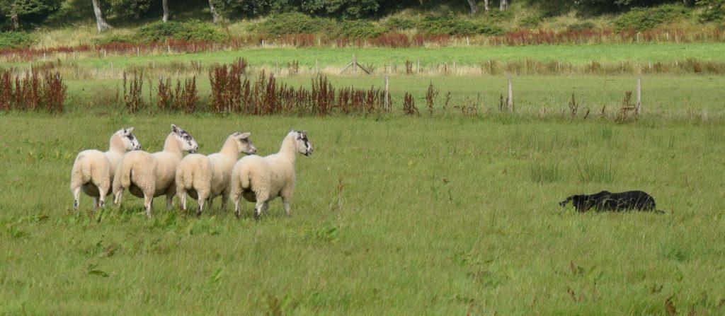 Nursery sheep dog trial results