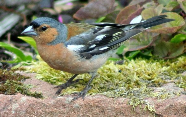 Chaffinch top the table of Arran's top 10 birds