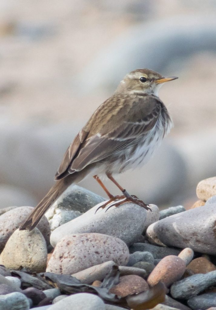 Will water pipit return this winter?