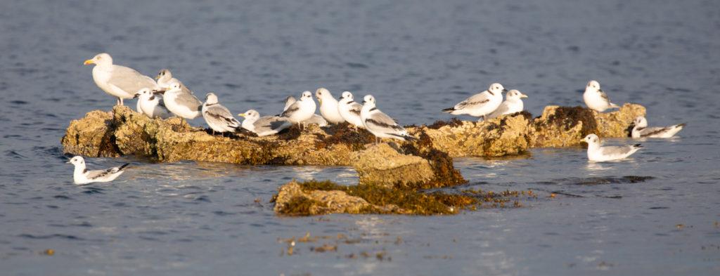 Birds flock together in preparation for migration